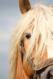 Bella fine della testa di cavallo della cambiale del palomino su Immagine Stock Libera da Diritti