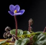 Bella fine della viola su Fotografia Stock