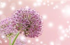 Bella fine porpora di fioritura dell'allium su, accogliendo o progettazione della partecipazione di nozze Fotografia Stock
