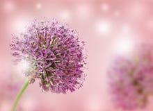 Bella fine porpora di fioritura dell'allium su, accogliendo o progettazione della partecipazione di nozze Fotografie Stock