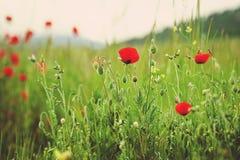 Bella fine su in campo e sole del papavero Concetto del fondo della natura di estate della primavera Fiori ispiratori e di rilass Fotografia Stock Libera da Diritti