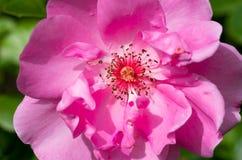 Bella fine su dal pistillo e dallo stame di un fiore Fotografia Stock Libera da Diritti