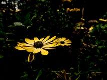 Bella fine su dei fiori gialli della margherita fotografia stock