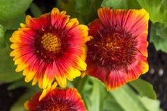 Bella fine su dei fiori modellati arancione scuro e gialli Fotografia Stock Libera da Diritti