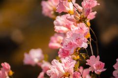 Bella fine sul colpo dei fiori rosa del fiore in un giardino giapponese fotografia stock libera da diritti