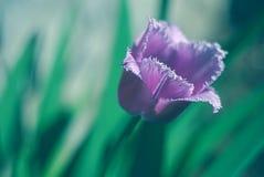 Bella fine sulla foto del tulipano viola Immagine Stock