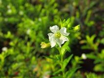 Bella fine sulla foto di piccolo fiore bianco con fondo verde vago Immagini Stock