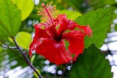 Bella fine tropicale rossa del fiore della foresta pluviale su fotografie stock