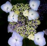 Bella fine variopinta del fiore dell'ortensia di estate su Immagine Stock