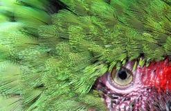 Bella fine verde del fronte e dell'occhio del pappagallo in su e personale Fotografia Stock