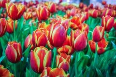 Bella fioritura dei fiori Fotografie Stock