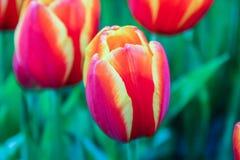 Bella fioritura dei fiori Fotografia Stock