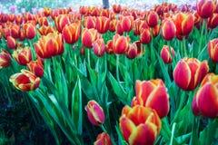 Bella fioritura dei fiori immagine stock