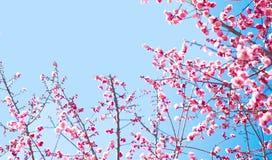 Bella fioritura dei fiori in primavera Fotografia Stock Libera da Diritti