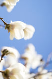 Bella fioritura dei fiori in primavera Fotografie Stock