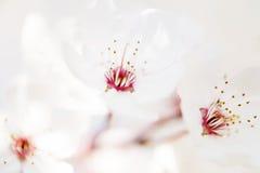 Bella fioritura dei fiori in primavera Immagini Stock Libere da Diritti