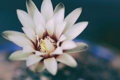 Bella fioritura del fiore del cactus Fotografia Stock