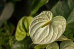 Bella fioritura del fiore di fenicottero o dell'anturio Fotografia Stock