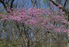 Bella fioritura dell'albero del redbud della lavanda fotografie stock libere da diritti