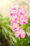 Bella fioritura delle orchidee di mattina Immagini Stock Libere da Diritti