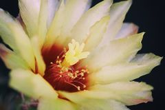 Bella fioritura gialla del fiore del cactus Fotografie Stock