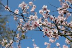 Bella fioritura giapponese bianca e rosa di Cherry Blossom Trees In Full al sole con cielo blu fotografia stock