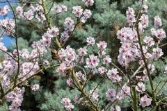 Bella fioritura giapponese bianca e rosa di Cherry Blossom Trees In Full al sole con cielo blu fotografia stock libera da diritti