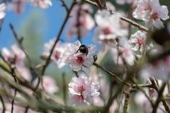 Bella fioritura giapponese bianca e rosa di Cherry Blossom Trees In Full al sole con cielo blu immagini stock libere da diritti