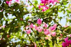 Bella fioritura magenta e rosa del fiore della buganvillea fotografia stock