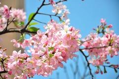 Bella fioritura rosa del fiore del fiore di ciliegia in pieno in Tawan Fotografia Stock Libera da Diritti