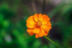Bella floricultura arancio luminosa dell'universo nel giardino Fotografia Stock Libera da Diritti