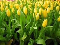 Bella floricultura del tulipano in giardino Immagini Stock Libere da Diritti