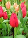 Bella floricultura del tulipano in giardino Fotografia Stock Libera da Diritti