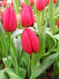 Bella floricultura del tulipano in giardino Fotografie Stock