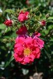 Bella floricultura di rosa caldo nel giardino Fotografia Stock Libera da Diritti