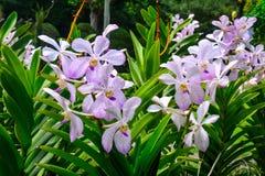 Bella floricultura porpora dell'orchidea nel giardino fotografia stock