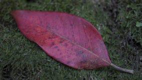 Bella foglia asciutta rossa, su verde, muschio fresco caduto da un albero Immagine Stock Libera da Diritti
