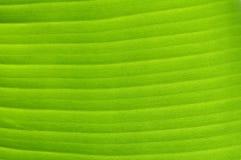 Bella foglia della banana Fotografia Stock Libera da Diritti