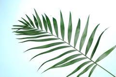 Bella foglia di palma Fotografie Stock Libere da Diritti