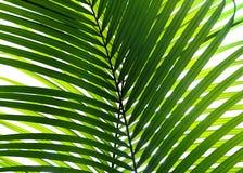Bella foglia di palma isolata Immagini Stock Libere da Diritti