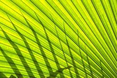 Bella foglia di palma tropicale Fotografia Stock