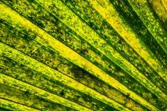 Bella foglia di palma tropicale Immagini Stock