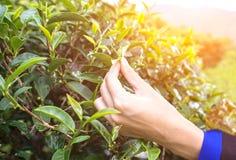 Bella foglia di tè asiatica di raccolto della ragazza nella piantagione di tè Fotografia Stock