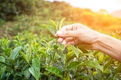 Bella foglia di tè asiatica di raccolto della ragazza nella piantagione di tè Immagine Stock