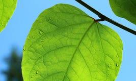 Bella foglia verde con i waterdrops Fotografie Stock Libere da Diritti