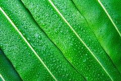 Bella foglia verde con le gocce di acqua Immagini Stock Libere da Diritti