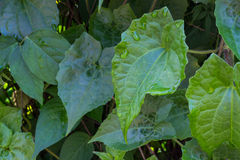 Bella foglia verde con le gocce di acqua Fotografia Stock