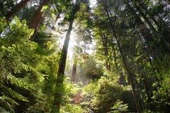 Bella foresta con i raggi del sole Immagine Stock