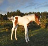 bella foresta del foal nuova Fotografia Stock Libera da Diritti