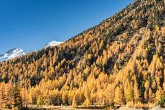 Bella foresta del larice nella caduta nelle alpi svizzere del thew con le montagne nevose dietro Fotografie Stock Libere da Diritti